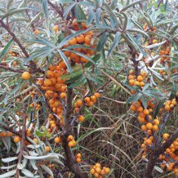 Havtorn – saml naturens lækre vitaminbombe