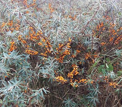 Havtorn busk fyldt med orange bær